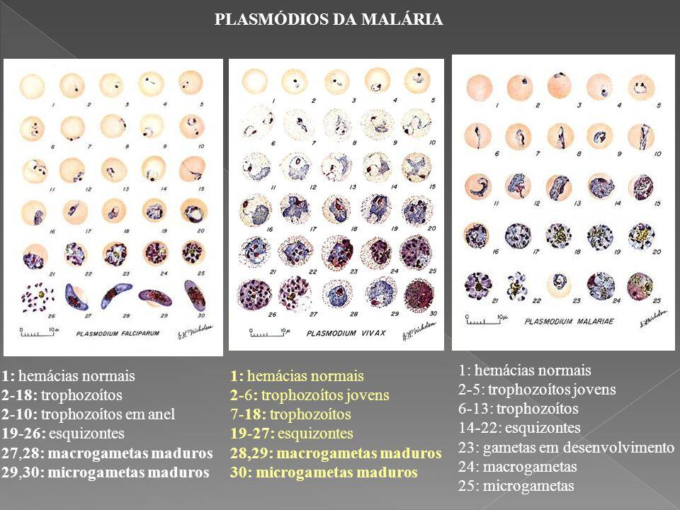 1: hemácias normais 2-18: trophozoítos 2-10: trophozoítos em anel 19-26: esquizontes 27,28: macrogametas maduros 29,30: microgametas maduros PLASMÓDIO