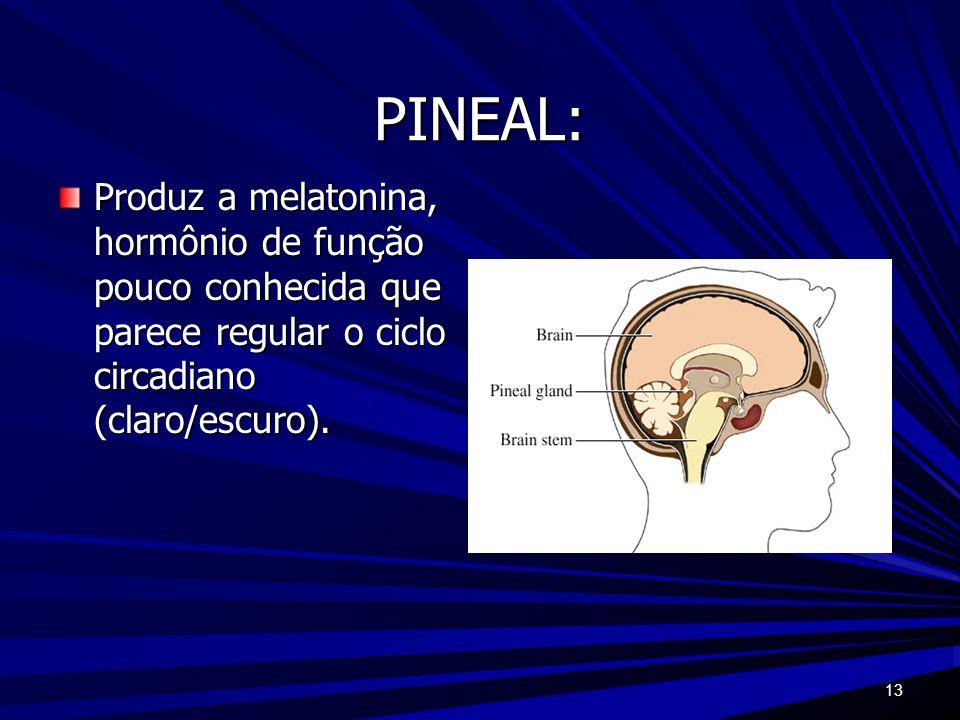 13 PINEAL: Produz a melatonina, hormônio de função pouco conhecida que parece regular o ciclo circadiano (claro/escuro).