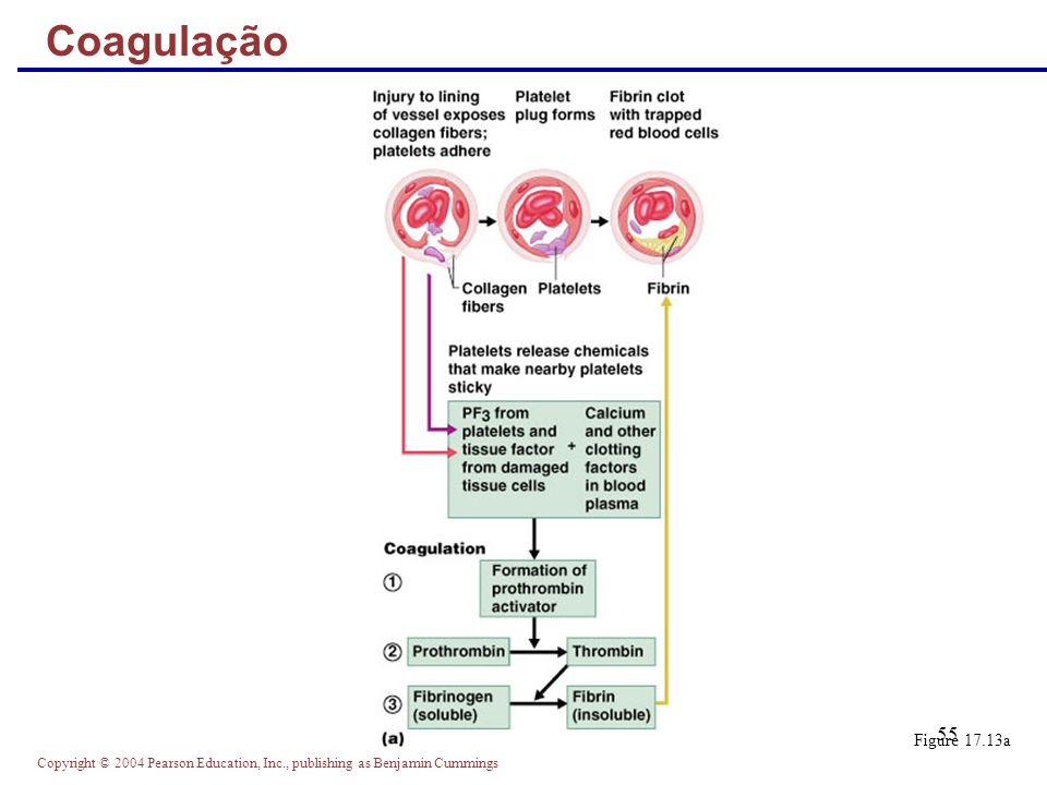Copyright © 2004 Pearson Education, Inc., publishing as Benjamin Cummings 55 Coagulação Figure 17.13a