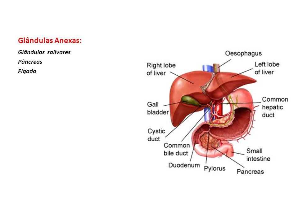 DESCRIÇÃO: O Sistema Digestivo é formado pelo tubo digestivo e suas glândulas anexas e tem como função retirar dos alimentos ingeridos os nutriente necessários para o desenvolvimento e a manutenção do organismo, isto é, o tubo digestivo tem a função de transformar alimento em nutrientes e absorvê-lo,mantendo, ao mesmo tempo, uma barreira entre o meio interno e o meio externo do organismo.