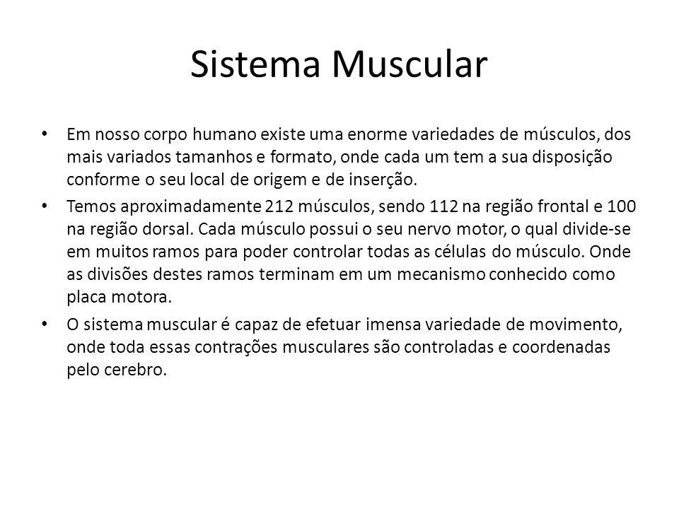 Sistema Muscular Em nosso corpo humano existe uma enorme variedades de músculos, dos mais variados tamanhos e formato, onde cada um tem a sua disposiç