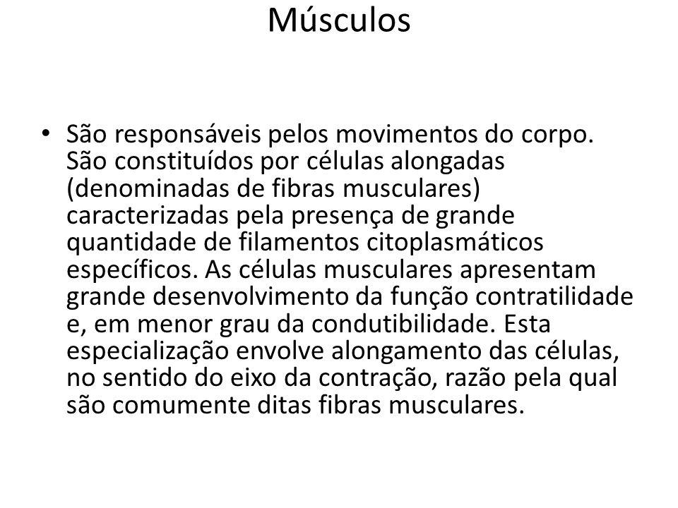 Músculos São responsáveis pelos movimentos do corpo. São constituídos por células alongadas (denominadas de fibras musculares) caracterizadas pela pre