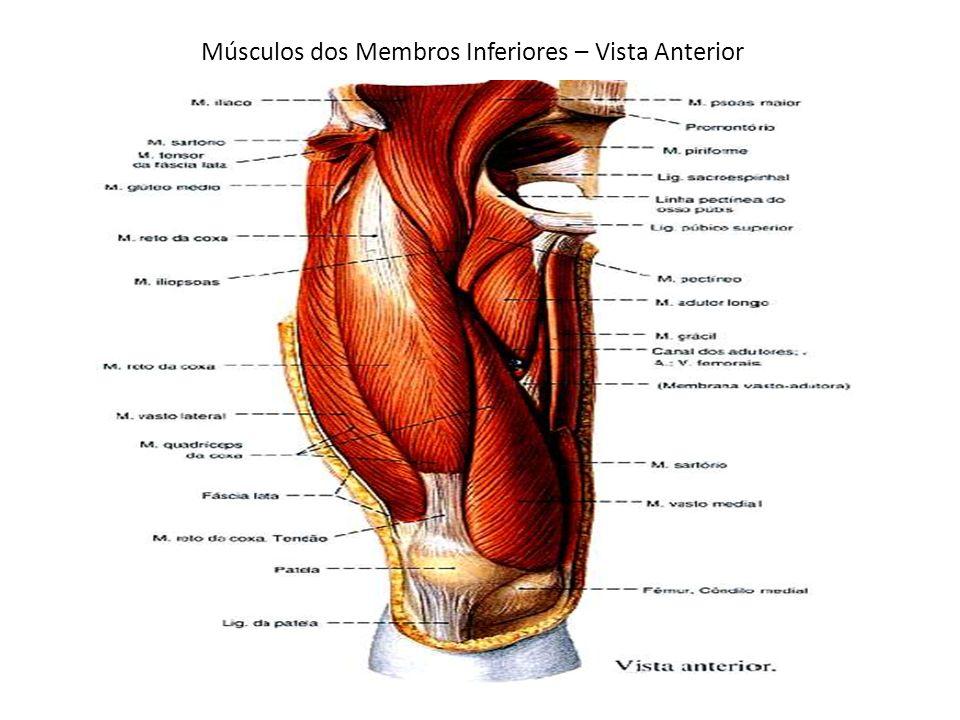 Músculos dos Membros Inferiores – Vista Anterior