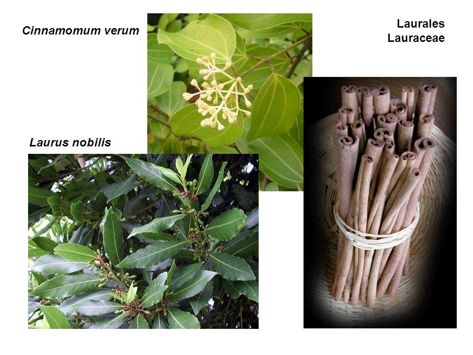 Cinnamomum verum Laurus nobilis