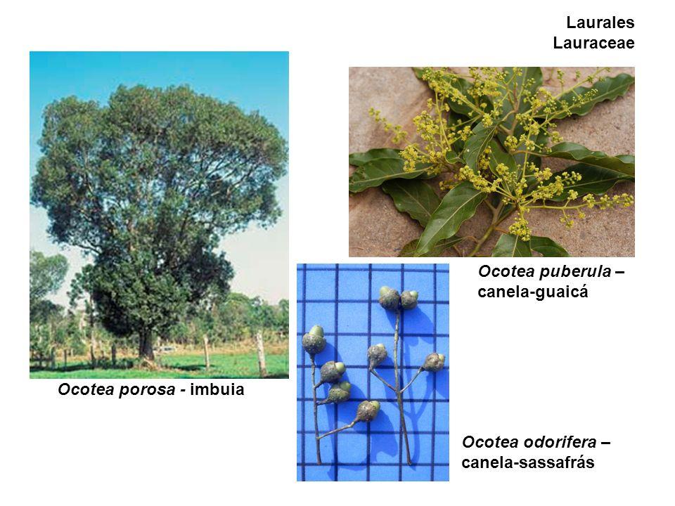 Laurales Lauraceae Ocotea porosa - imbuia Ocotea puberula – canela-guaicá Ocotea odorifera – canela-sassafrás