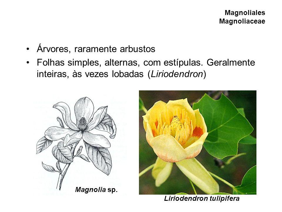 Magnoliales Magnoliaceae Árvores, raramente arbustos Folhas simples, alternas, com estípulas. Geralmente inteiras, às vezes lobadas (Liriodendron) Lir