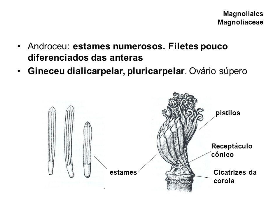 Magnoliales Magnoliaceae Androceu: estames numerosos. Filetes pouco diferenciados das anteras Gineceu dialicarpelar, pluricarpelar. Ovário súpero esta