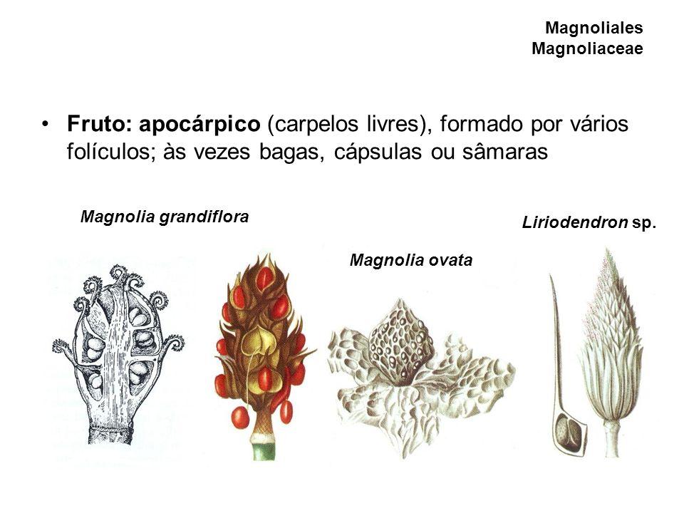 Magnoliales Magnoliaceae Fruto: apocárpico (carpelos livres), formado por vários folículos; às vezes bagas, cápsulas ou sâmaras Magnolia grandiflora M