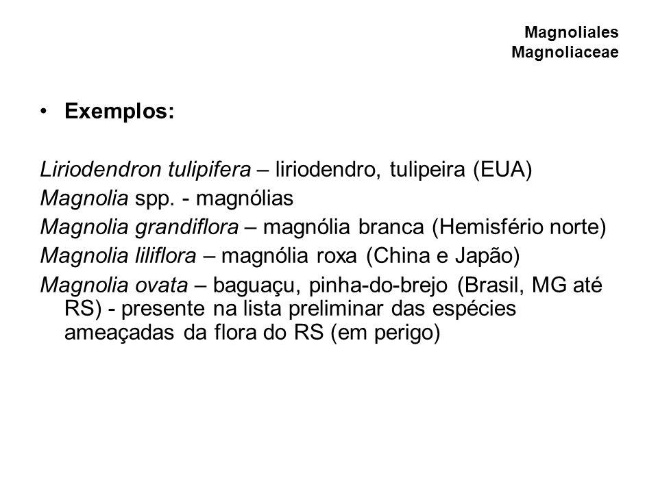 Magnoliales Magnoliaceae Exemplos: Liriodendron tulipifera – liriodendro, tulipeira (EUA) Magnolia spp. - magnólias Magnolia grandiflora – magnólia br