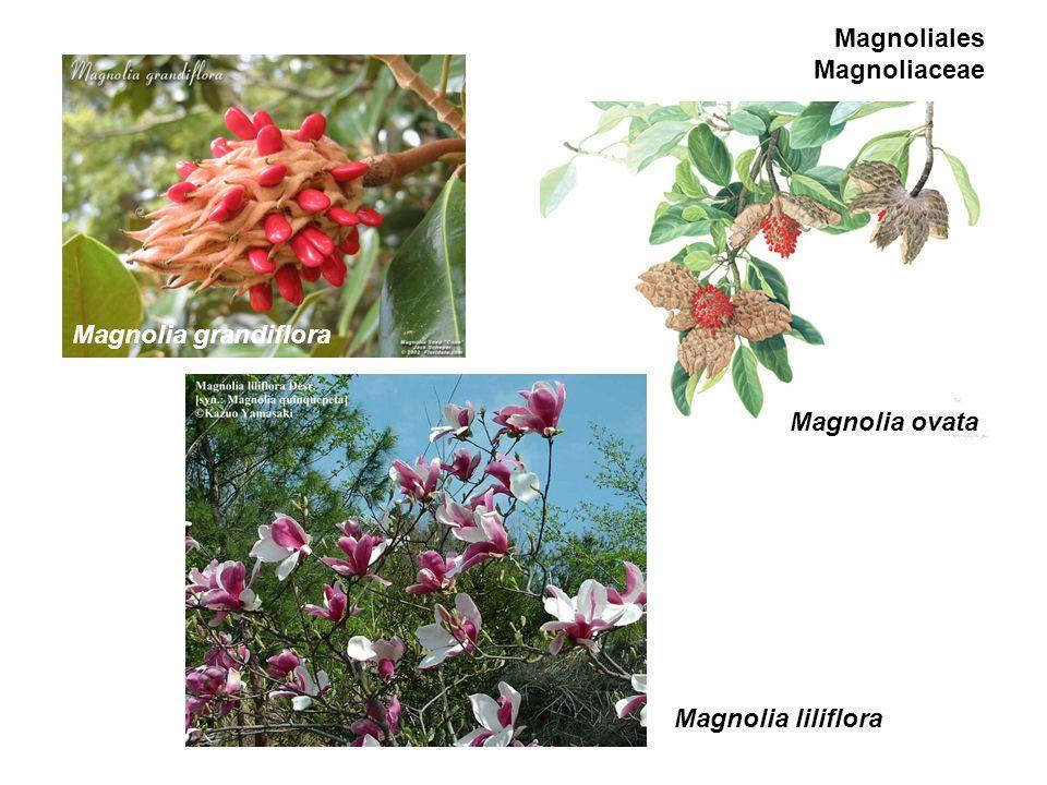 Magnoliales Magnoliaceae Magnolia ovata Magnolia grandiflora Magnolia liliflora