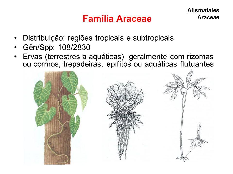 Família Araceae Distribuição: regiões tropicais e subtropicais Gên/Spp: 108/2830 Ervas (terrestres a aquáticas), geralmente com rizomas ou cormos, tre