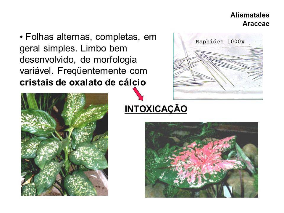 Folhas alternas, completas, em geral simples. Limbo bem desenvolvido, de morfologia variável. Freqüentemente com cristais de oxalato de cálcio INTOXIC