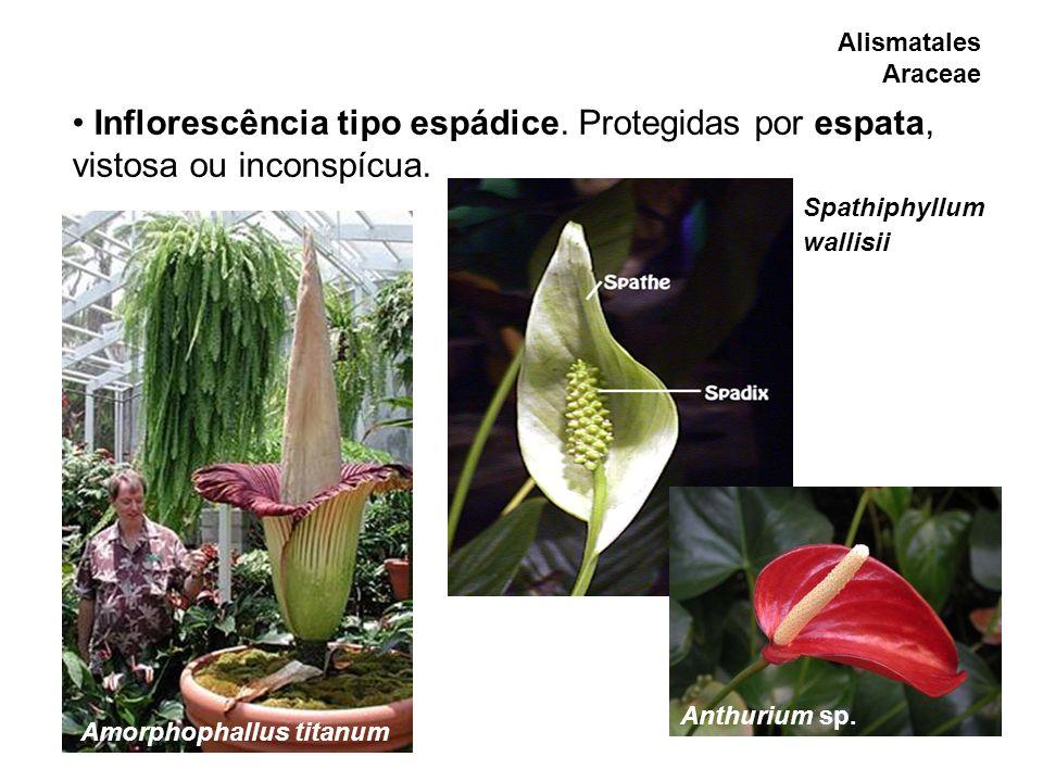 Alismatales Araceae Inflorescência tipo espádice. Protegidas por espata, vistosa ou inconspícua. Amorphophallus titanum Anthurium sp. Spathiphyllum wa