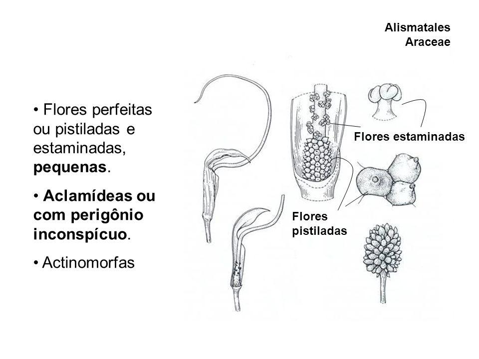 Alismatales Araceae Flores perfeitas ou pistiladas e estaminadas, pequenas. Aclamídeas ou com perigônio inconspícuo. Actinomorfas Flores pistiladas Fl
