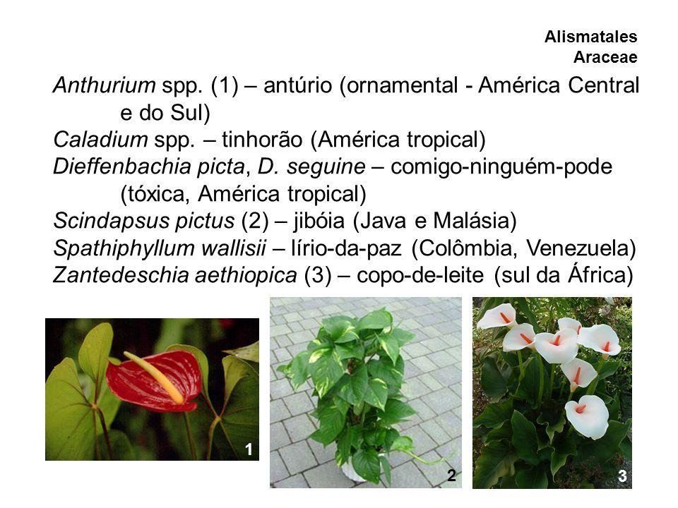 Alismatales Araceae Anthurium spp. (1) – antúrio (ornamental - América Central e do Sul) Caladium spp. – tinhorão (América tropical) Dieffenbachia pic