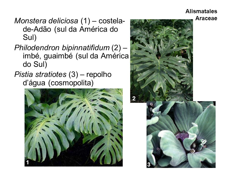 Alismatales Araceae Monstera deliciosa (1) – costela- de-Adão (sul da América do Sul) Philodendron bipinnatifidum (2) – imbé, guaimbé (sul da América