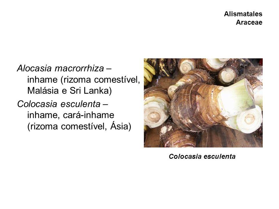 Alismatales Araceae Alocasia macrorrhiza – inhame (rizoma comestível, Malásia e Sri Lanka) Colocasia esculenta – inhame, cará-inhame (rizoma comestíve