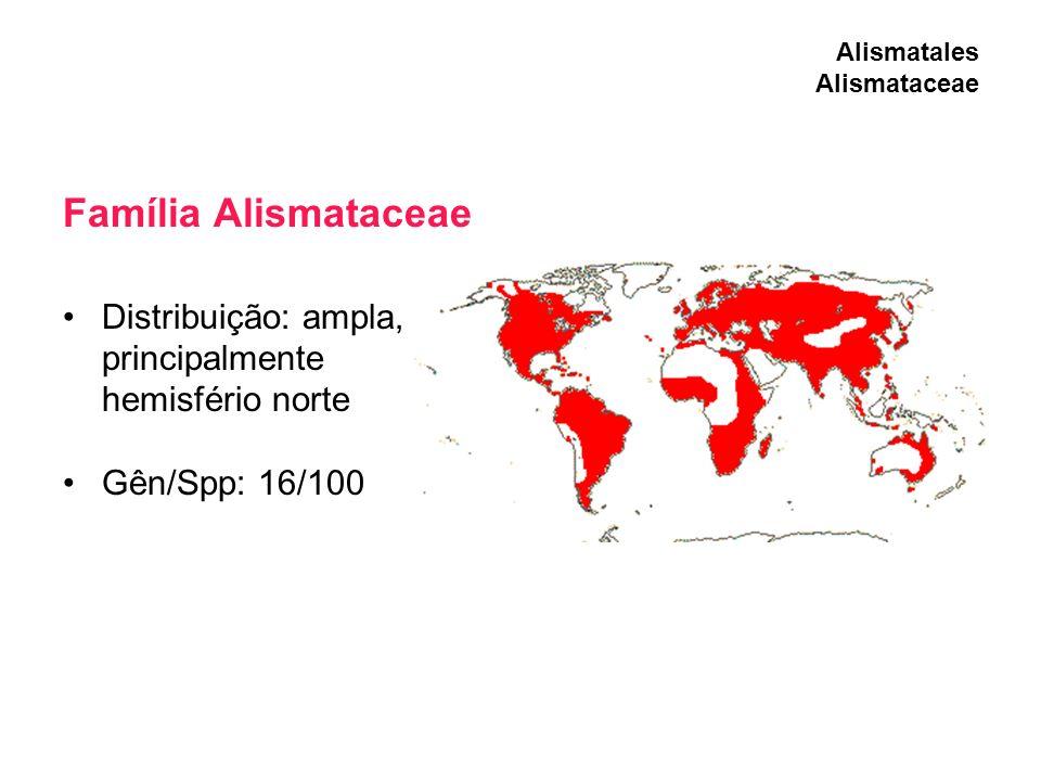 Família Alismataceae Distribuição: ampla, principalmente hemisfério norte Gên/Spp: 16/100 Alismatales Alismataceae
