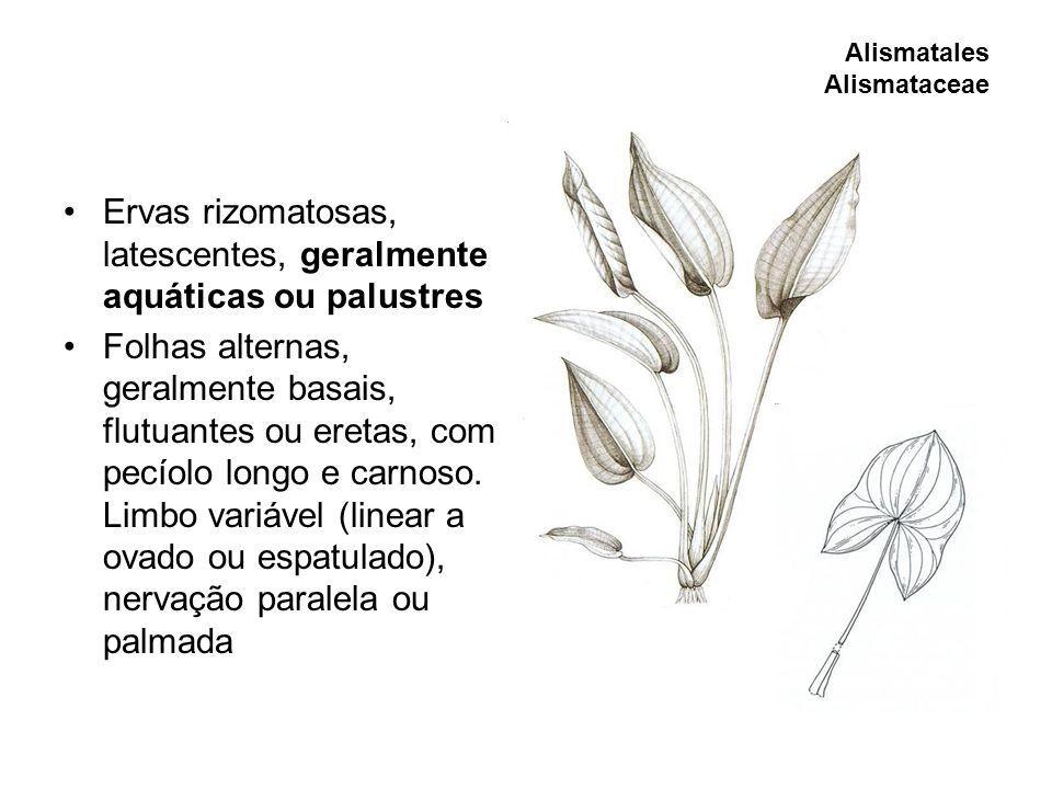 Ervas rizomatosas, latescentes, geralmente aquáticas ou palustres Folhas alternas, geralmente basais, flutuantes ou eretas, com pecíolo longo e carnos