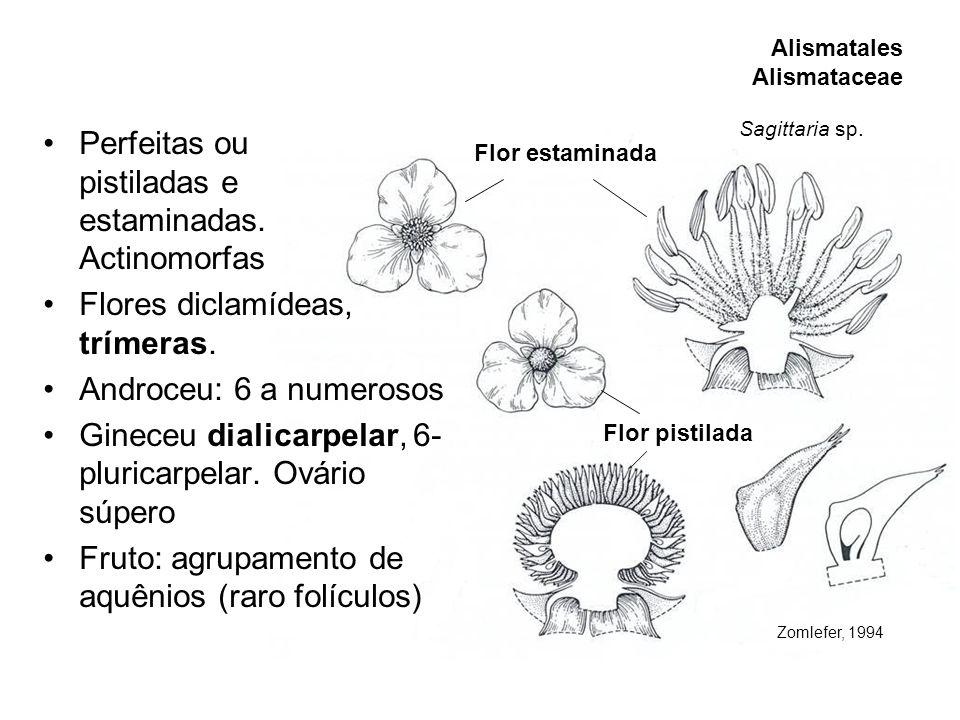 Perfeitas ou pistiladas e estaminadas. Actinomorfas Flores diclamídeas, trímeras. Androceu: 6 a numerosos Gineceu dialicarpelar, 6- pluricarpelar. Ová