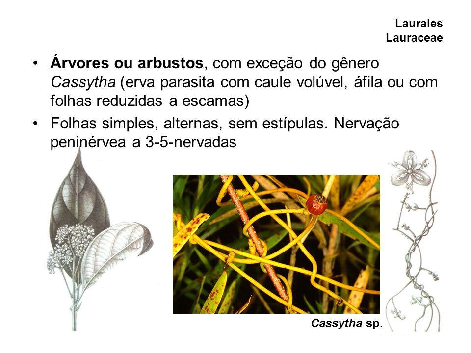 Laurales Lauraceae Árvores ou arbustos, com exceção do gênero Cassytha (erva parasita com caule volúvel, áfila ou com folhas reduzidas a escamas) Folh