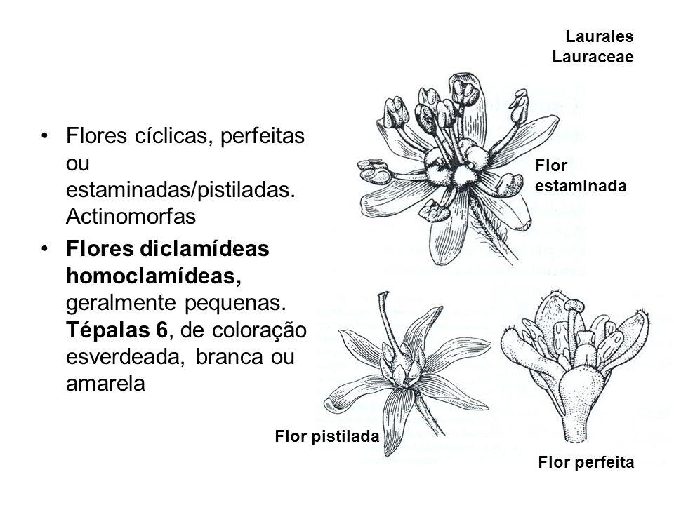 Laurales Lauraceae Flores cíclicas, perfeitas ou estaminadas/pistiladas. Actinomorfas Flores diclamídeas homoclamídeas, geralmente pequenas. Tépalas 6
