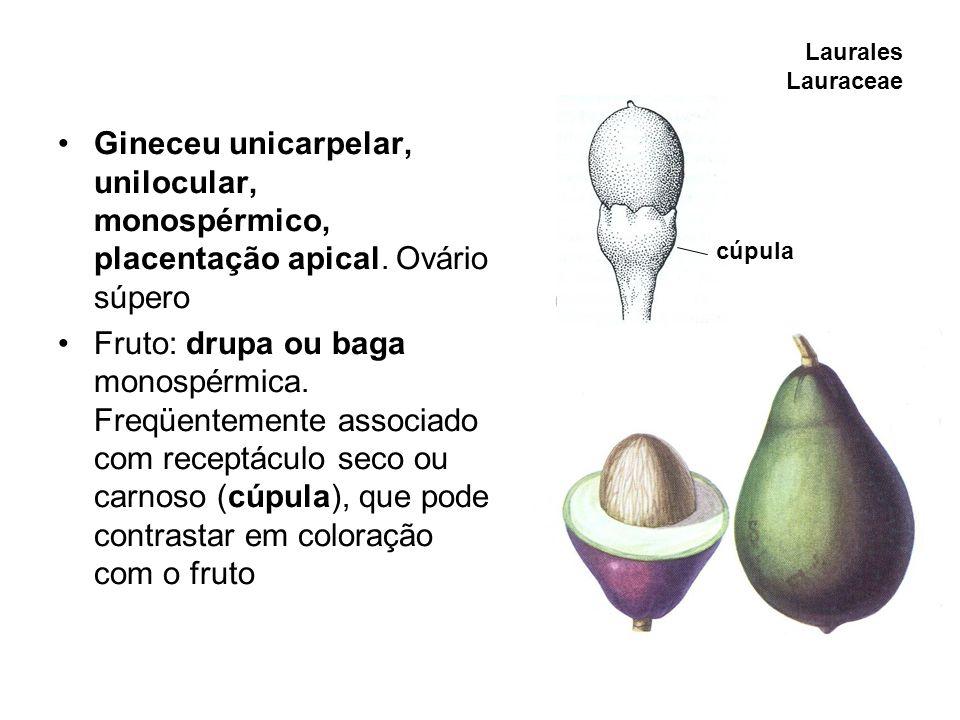 Laurales Lauraceae Gineceu unicarpelar, unilocular, monospérmico, placentação apical. Ovário súpero Fruto: drupa ou baga monospérmica. Freqüentemente
