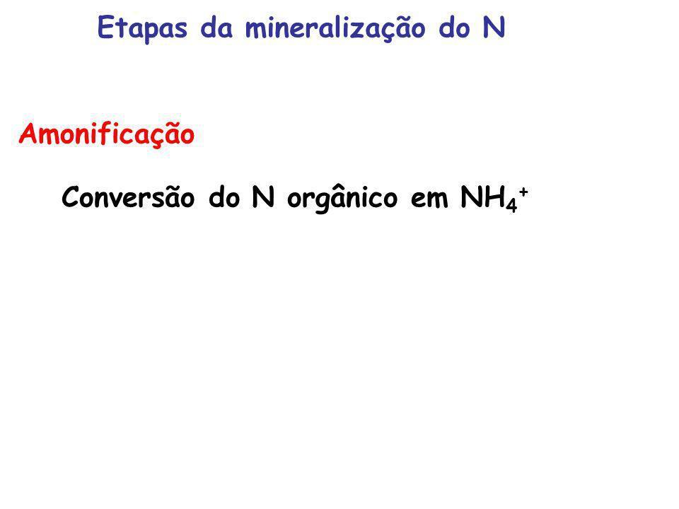 Amonificação Conversão do N orgânico em NH 4 + Etapas da mineralização do N