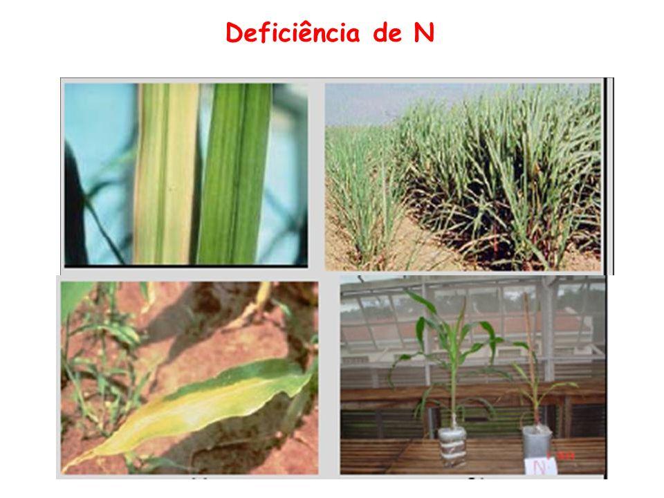 Zinco Formas de absorção: Zn 2+ Funções: Ativação enzimática Crescimento da planta Sintomas de deficiência Diminuição na atividade enzimática Encurtamento de entrenós