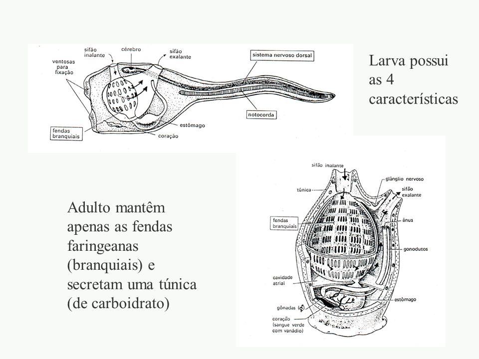 adalberto II - Subfilo Cephalochordata Amphioxus sp