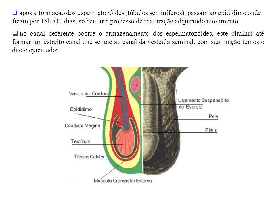 adalberto após a formação dos espermatozóides (túbulos seminíferos), passam ao epidídimo onde ficam por 18h a10 dias, sofrem um processo de maturação