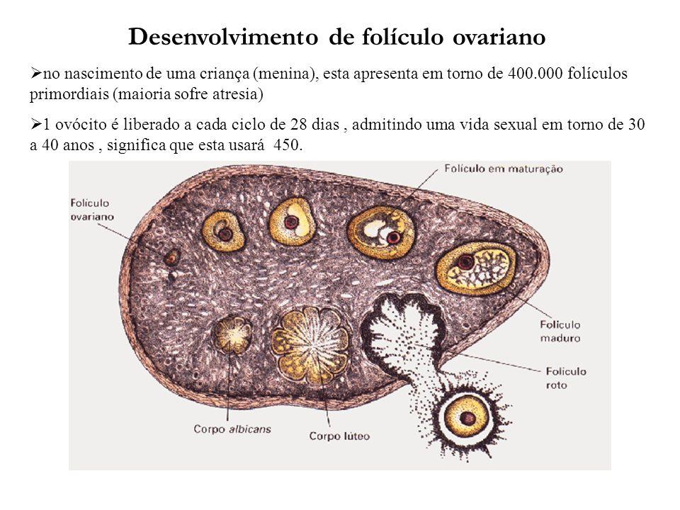 Desenvolvimento de folículo ovariano no nascimento de uma criança (menina), esta apresenta em torno de 400.000 folículos primordiais (maioria sofre at
