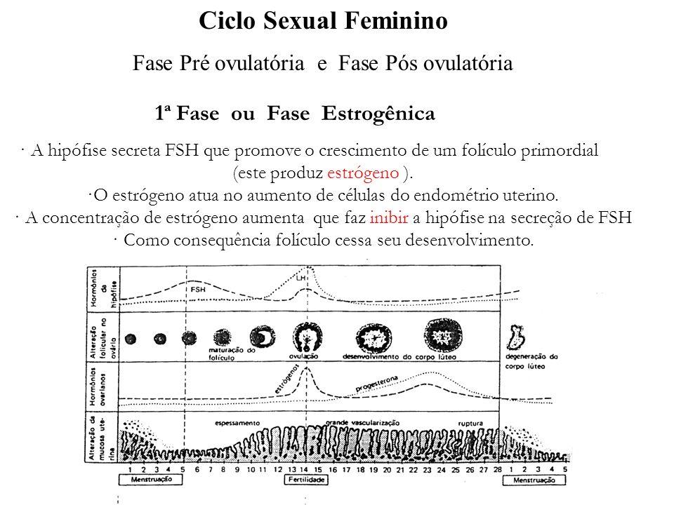 adalberto · A hipófise secreta FSH que promove o crescimento de um folículo primordial (este produz estrógeno ). ·O estrógeno atua no aumento de célul