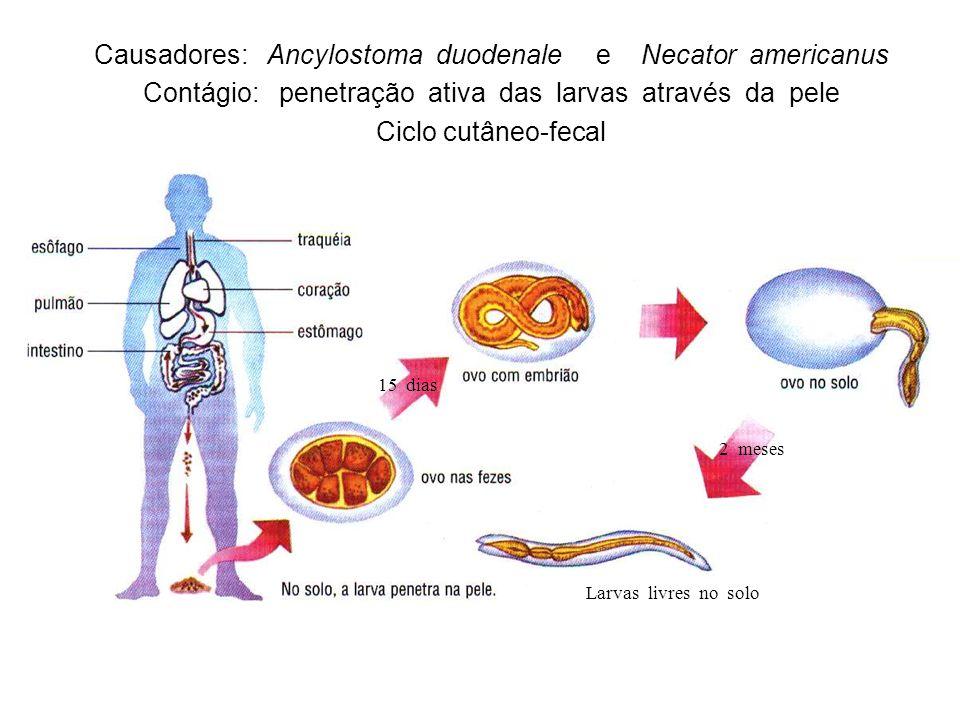 15 dias 2 meses Larvas livres no solo Causadores: Ancylostoma duodenale e Necator americanus Contágio: penetração ativa das larvas através da pele Ciclo cutâneo-fecal