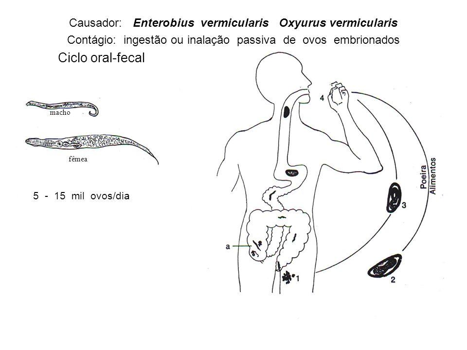 macho fêmea 5 - 15 mil ovos/dia Causador: Enterobius vermicularis Oxyurus vermicularis Contágio: ingestão ou inalação passiva de ovos embrionados Ciclo oral-fecal