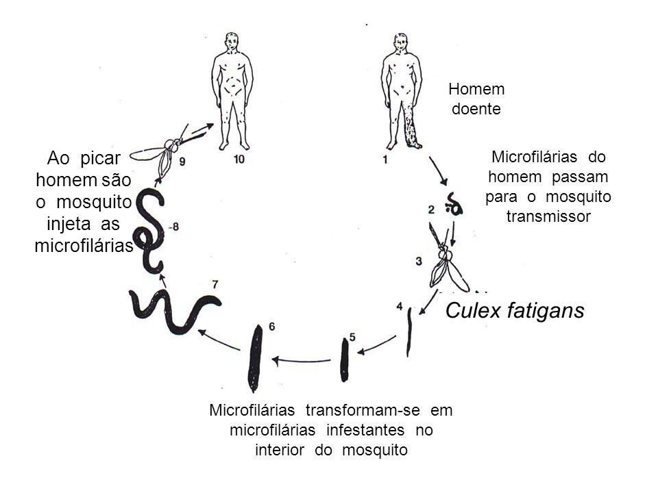 Homem doente Microfilárias do homem passam para o mosquito transmissor Microfilárias transformam-se em microfilárias infestantes no interior do mosquito Ao picar homem são o mosquito injeta as microfilárias Culex fatigans