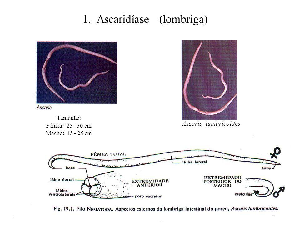 1. Ascaridíase (lombriga) Ascaris lumbricoides Tamanho: Fêmea: 25 - 30 cm Macho: 15 - 25 cm
