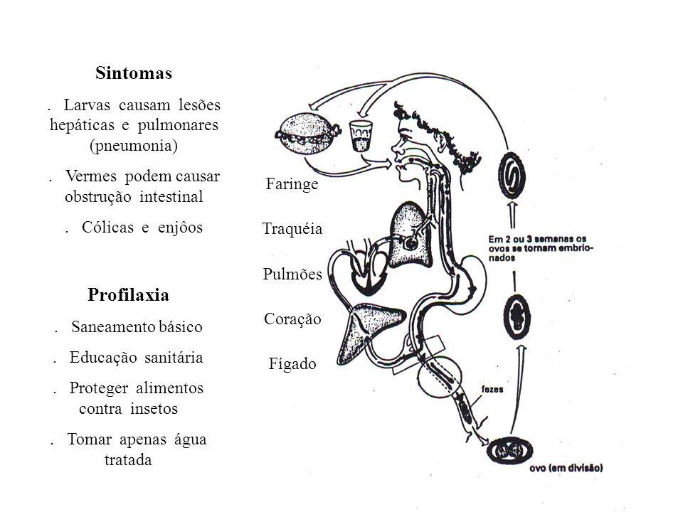 Faringe Traquéia Pulmões Coração Fígado Sintomas. Larvas causam lesões hepáticas e pulmonares (pneumonia). Vermes podem causar obstrução intestinal. C