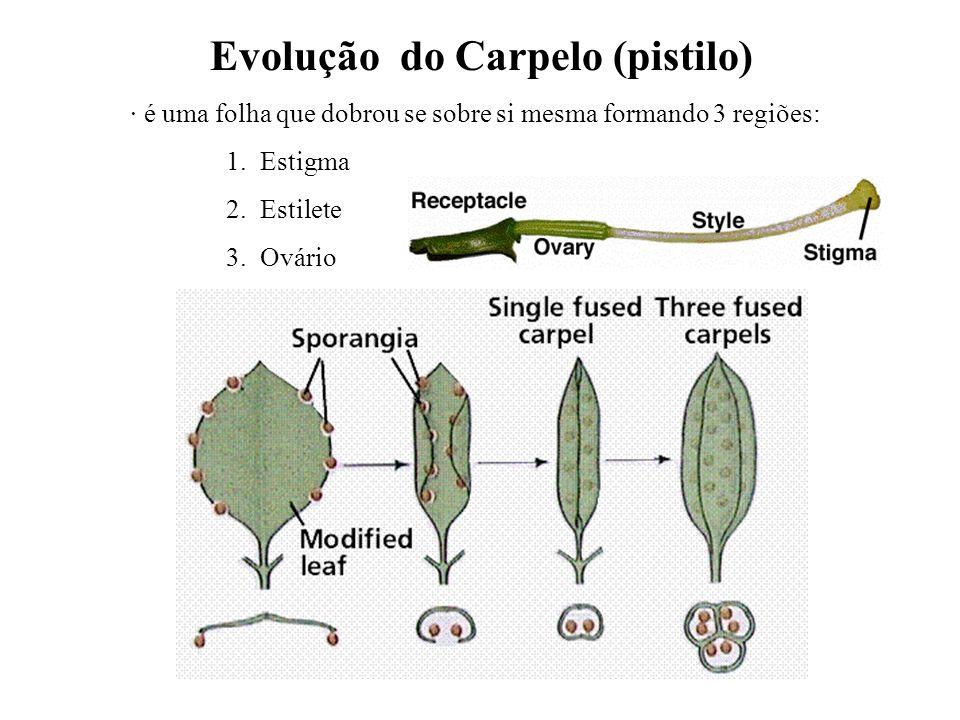 adalberto Evolução do Carpelo (pistilo) · é uma folha que dobrou se sobre si mesma formando 3 regiões: 1. Estigma 2. Estilete 3. Ovário