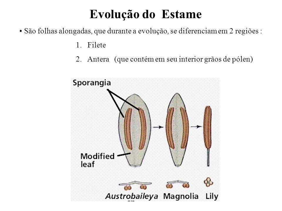 adalberto Evolução do Estame São folhas alongadas, que durante a evolução, se diferenciam em 2 regiões : 1. Filete 2. Antera (que contém em seu interi