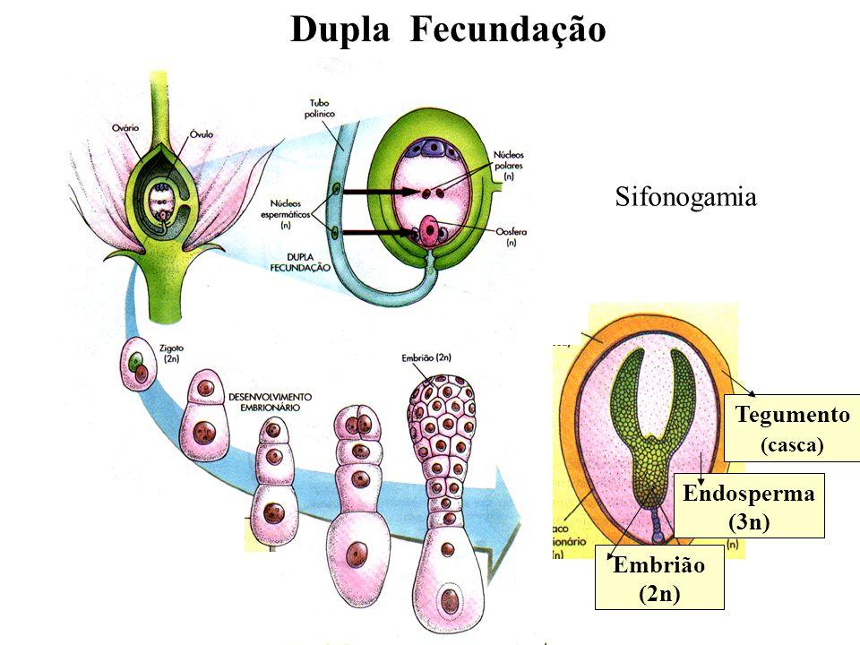 adalberto Dupla Fecundação Tegumento (casca) Endosperma (3n) Embrião (2n) Sifonogamia