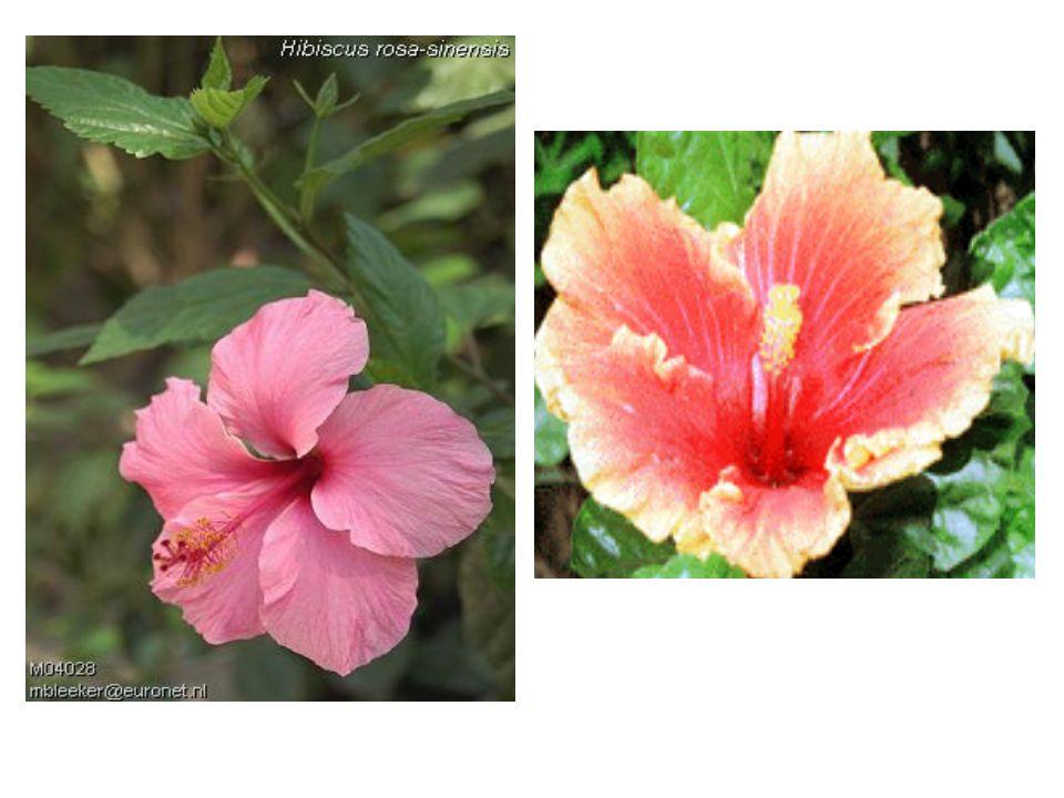 Polinização por insetos (entomofilia) Diurnos: pétalas coloridas, muito néctar Noturnos: odor Raflesia Flor-cadáver