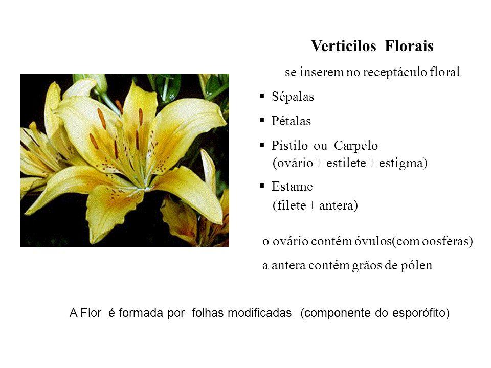 A Flor é formada por folhas modificadas (componente do esporófito) Verticilos Florais se inserem no receptáculo floral Sépalas Pétalas Pistilo ou Carp