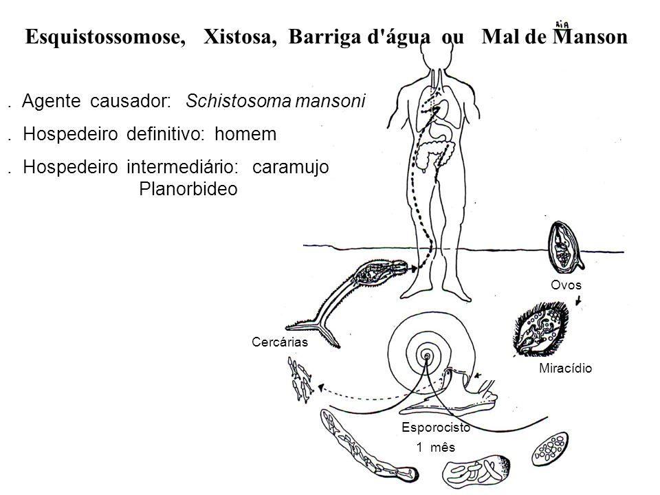 Ovos Miracídio Cercárias Esporocisto 1 mês. Agente causador: Schistosoma mansoni. Hospedeiro definitivo: homem. Hospedeiro intermediário: caramujo Pla
