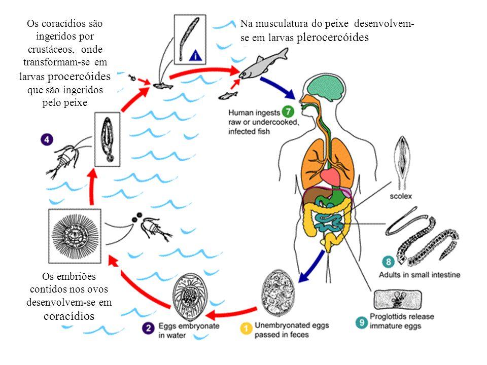 Os embriões contidos nos ovos desenvolvem-se em coracídios Os coracídios são ingeridos por crustáceos, onde transformam-se em larvas procercóides que
