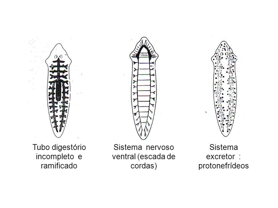 Tubo digestório incompleto e ramificado Sistema nervoso ventral (escada de cordas) Sistema excretor : protonefrídeos