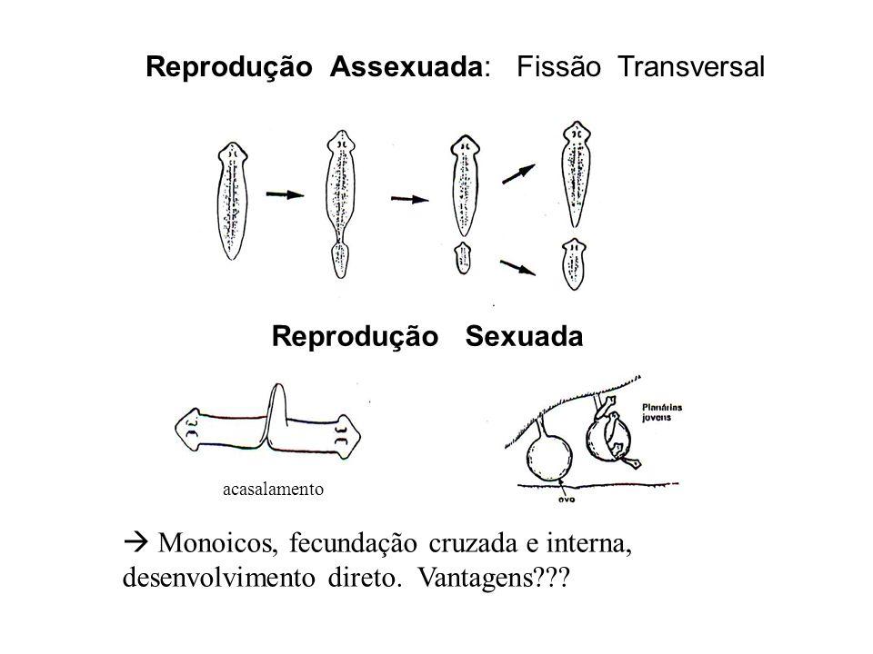acasalamento Reprodução Assexuada: Fissão Transversal Reprodução Sexuada Monoicos, fecundação cruzada e interna, desenvolvimento direto. Vantagens???