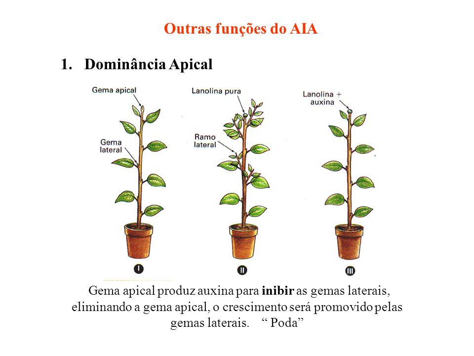 Outras funções do AIA 1. Dominância Apical Gema apical produz auxina para inibir as gemas laterais, eliminando a gema apical, o crescimento será promo