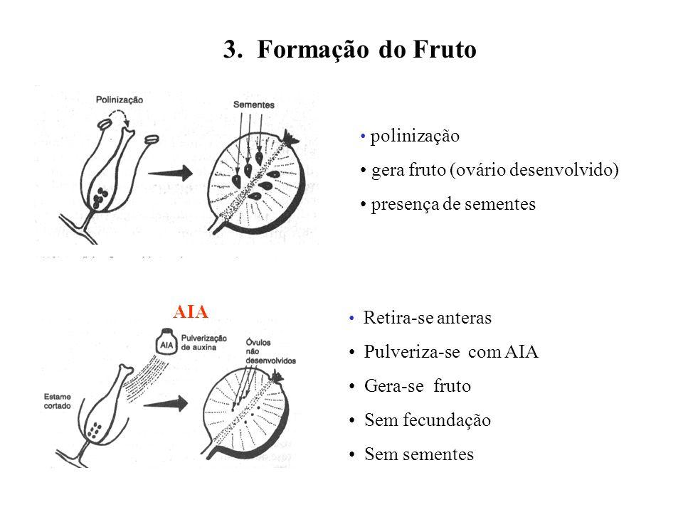 3. Formação do Fruto polinização gera fruto (ovário desenvolvido) presença de sementes Retira-se anteras Pulveriza-se com AIA Gera-se fruto Sem fecund