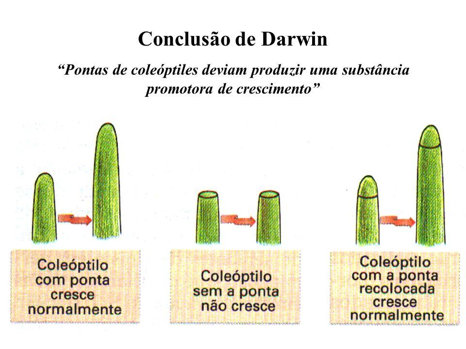 Plantinhas jovens de gramíneas não se curvam em direção à luz quando: seus ápices (coleóptiles) são removidos ou protegidos da luz O ápice dos coleóptilos é responsável pela curvatura das plantas em direção à luz
